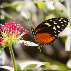 Farfalla che sugge il nettare - texture retro