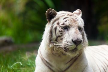 White Royal Bengal Tiger