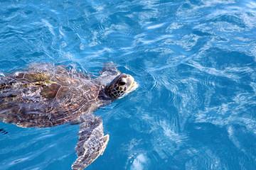 Meeresschildkröte vor Teneriffa