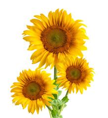 The beautiful sunflower