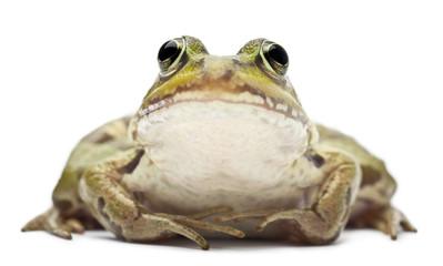 Common European frog or Edible Frog, Rana esculenta