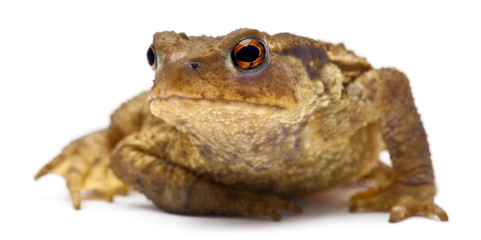 Common toad or European toad, Bufo bufo
