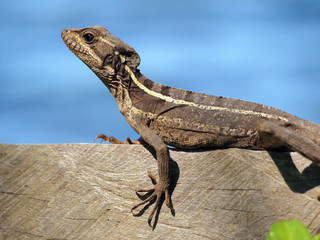 Common Basilisk lizard, Basiliscus basiliscus, on a board with water in background, Costa Rica, Central America