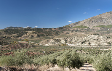 View of Olive Trees in Jaen Province, Andalusia, Spain