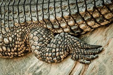 Fuß des Krokodils