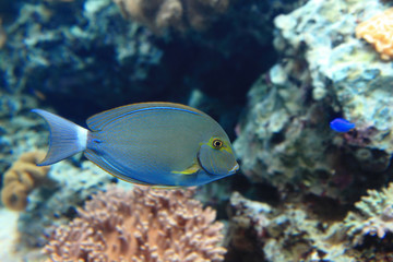 Beautiful blue tropical fish with coral background