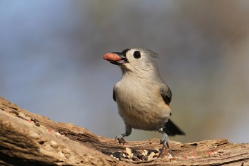 Tufted Titmouse with a fruit snack.