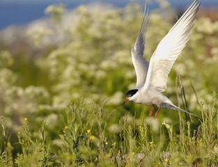 Tern in flight.
