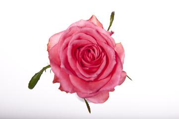 Kwiat róży na białym tle