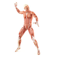 Fighting man muscles anatomy system isolated on white background