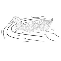 Wild duck.