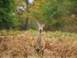 Beautiful image of red deer female does in Autumn Fall forest