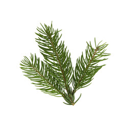 pine twig on a white background