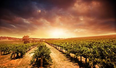 Fototapete - Sunset Vineyard