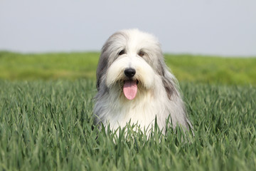 bearded collie on the fields
