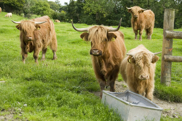 Pure Breed Highland Cattle Approaching Feeding Trough, Wales