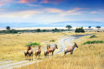Antelope Topis (Damaliscus korrigum)