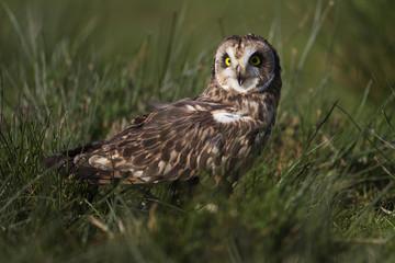 Short - eared Owl  tw0074
