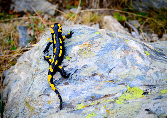 Salamander in the pyrenees