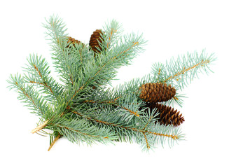 blue fir twigs with cones