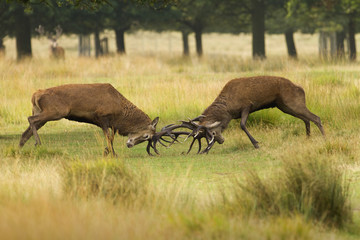 Two rutting red deer stags