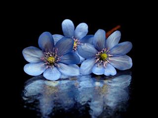 Hepatica nobilis flowers