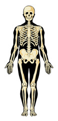 Human skeleton in separate layers. Vector illustration.