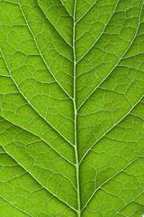 Green leaf marco shot