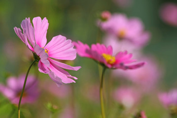 Spoed Foto op Canvas Roze gazon fleuri cosmos