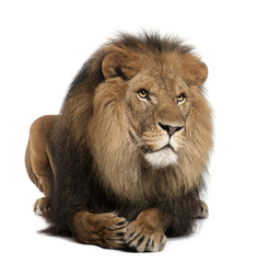 Foto auf Leinwand Löwe Lion, Panthera leo, 8 years old, lying