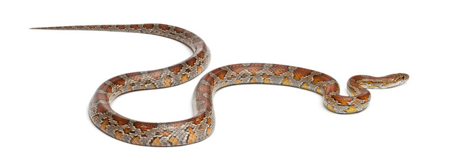 Miami Corn Snake or Red Rat Snake, Pantherophis guttatus