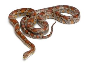 Miami Corn Snake or Red Rat Snake, Pantherophis guttatus