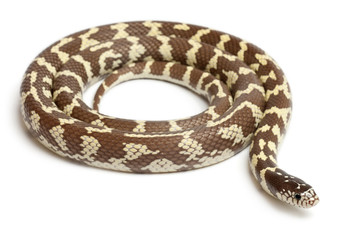 Banana eastern kingsnake, Lampropeltis getula californiae