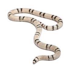 Ghost Honduran milk snake, Lampropeltis triangulum hondurensis