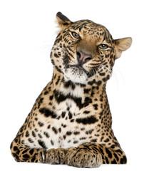 Poster Leopard Leopard, Panthera pardus, lying in front of white background