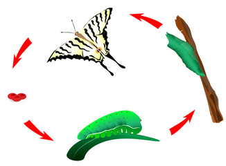 Butterfly life cycle. Metamorphosis