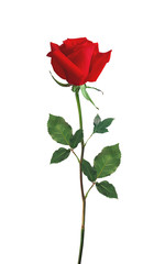 Red Rose isolated over white