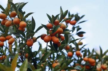 cumquat fruit