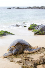 HONU, the sea turtle on the shore