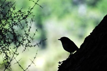 Stewart Island Robin Bird