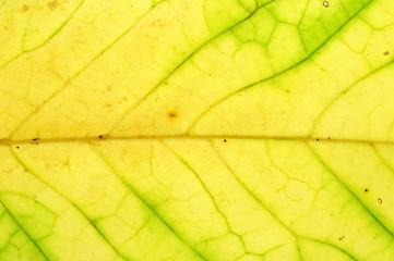 ポポーノキの黄葉