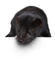 Black mink lying on a white banner