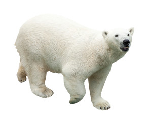 Wall Mural - polar bear. Isolated over white