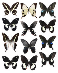 Very Many white and black butterflies