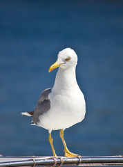 Sea gull standing on boat front view