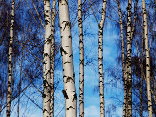Garden Poster Birch Grove Birch trunks background