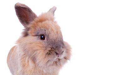 face of a little brown rabbit