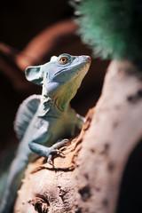 Green Plumed Basilisk lizard