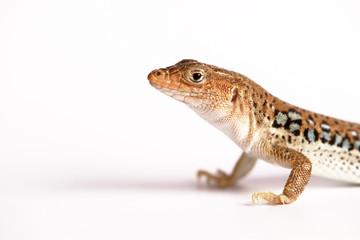 Eidechse Gecko Lizzard