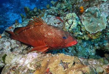 Red Hind (Epinephelus guttatus) - Roatan